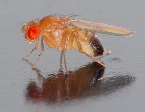 Elderly flies do not sleep well – they frequently wake up during the night and wander around restlessly. The same is true of humans. © André Karwath. CC BY-SA 2.5.