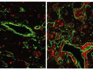 The normal mouse thymus (left) contains only a small fraction of B-cells (red). If the gene FOXN4 is activated, a fish-like thymus with many B-cells develops. This state is likely to have existed about 500 million years ago, at the time when the first vertebrates emerged. © Max Planck Institute of Immunobiology & Epigenetics
