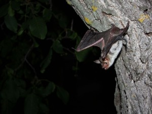 Greater mouse-eared bat taking off. © MPI f. Ornithology/ Greif