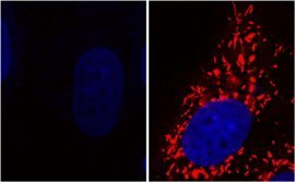 Inactivation of the DJ-1 gene results in mitochondrial dysfunction (left), which can be restored by glycolate or D-lactate (right). Active mitochondria are shown in red, DNA is shown in blue [less] © MPI-CBG