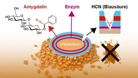Several layers of polylactic acid surround a wheat grain. An enzyme is embedded in the innermost layer, while the middle layers contain amygdalin. Insects can release these two substances as they feed, leading the enzyme to convert the amygdalin into hydrogen cyanide. This can weaken or kill the insect larvae. (Graphics: ETH Zurich)